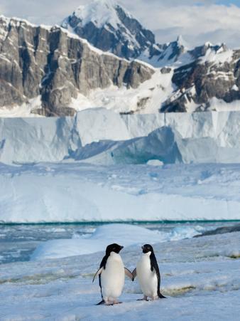Adelie Penguins, Western Antarctic Peninsula, Antarctica