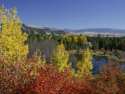 Aspen Trees and Black Hawthorn, Grand Teton National Park, Wyoming, USA