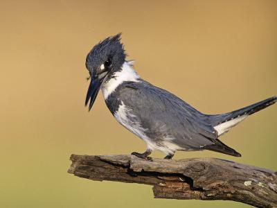 Belted Kingfisher, Willacy County, Rio Grande Valley, Texas, USA