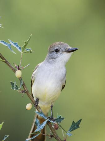 Ash-Throated Flycatcher, Uvalde County, Hill Country, Texas, USA