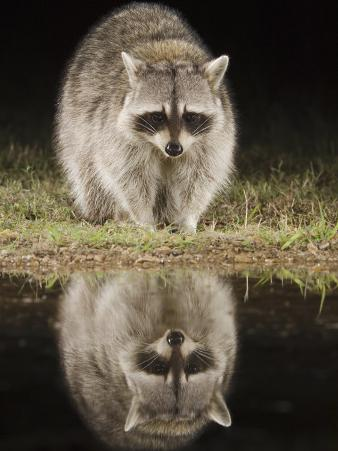 Northern Raccoon, Uvalde County, Hill Country, Texas, USA