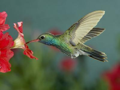 Hummingbird Feeding on Petunia, Madera Canyon, Arizona, USA