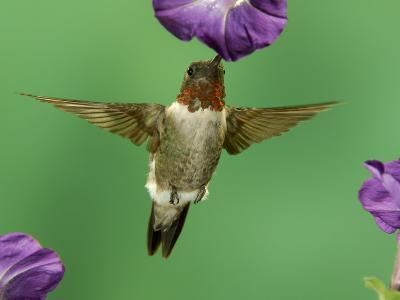 Ruby-Throated Hummingbird Feeding on Petunia, New Braunfels, Texas, USA