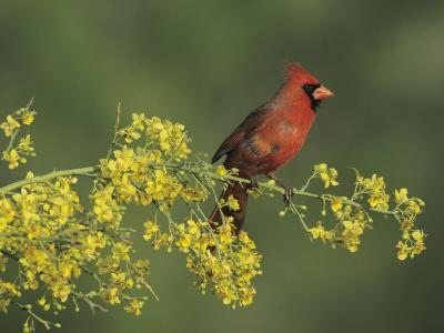 Northern Cardinal on Blooming Paloverde, Rio Grande Valley, Texas, USA