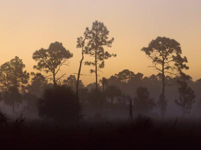 Pine Trees in Morning Fog, Big Cypress National Preserve, Florida