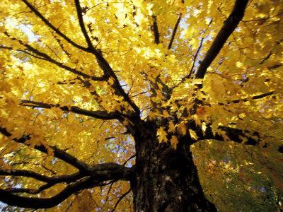 Fall Maple Trees, Vermont, USA
