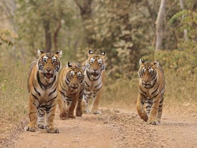 Royal Bengal Tigers On The Track, Ranthambhor National Park, India