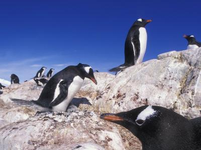 Gentoo Penguins in Rookery, Waterboat Point, Antarctica