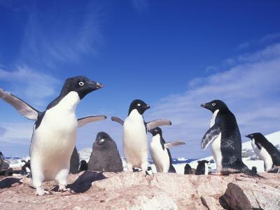 Adelie Penguin Rookery, Petermann Island, Lemaire Channel, Antarctica