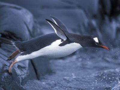Adelie Penguins Waving Flippers, Petermann Island, Antarctica