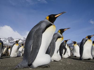 King Penguins, Saint Andrews Bay, South Georgia Island, Sub-Antarctica