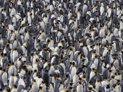 King Penguins in Crowded Rookery, Right Whale Bay, South Georgia Island, Antarctica