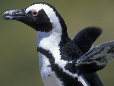 African Penguin at Boulders Beach, Table Mountain National Park, South Africa