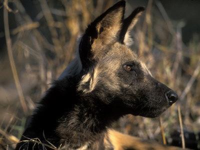 African Wild Dog, Savuti Marsh, Chobe National Park ...
