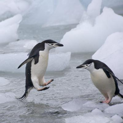 Chinstrap Penguins on ice, South Orkney Islands, Antarctica