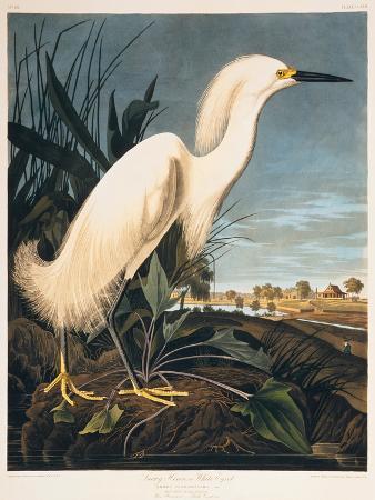 Snowy Heron or White Egret