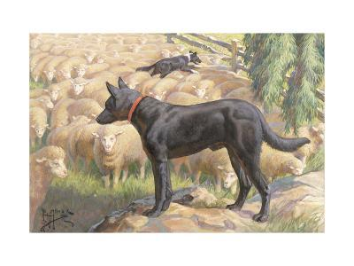 Australian Kelpie Dogs Herd Sheep