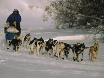 Dogs Pull a Sled across Snow