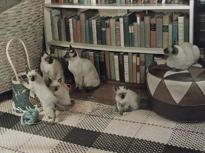 Adult Siamese Cats Watch as their Young Play with Yarn