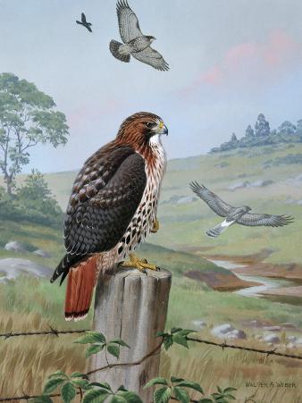 Red-Tailed Hawk Sits on Fence, Kingbird Chases Hawk Near Marsh Hawk