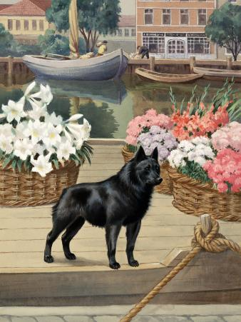 Schipperke Dog Guards Canal Boats in a Belgian Town
