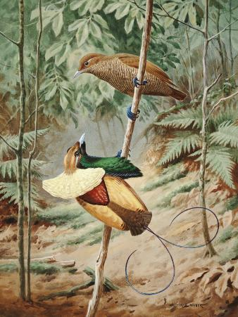 Male Magnificient Bird of Paradise Dances on Sapling for Female