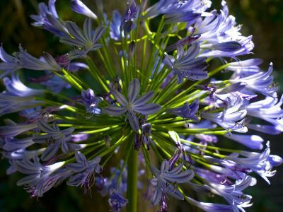 Close View of a Purple African Lily Flower