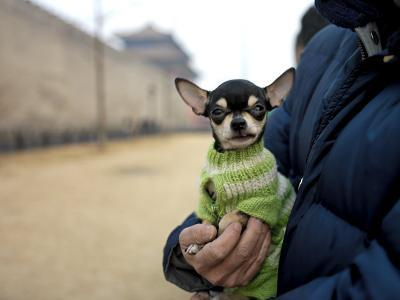 Tiny Dog in a Sweater Sits in His Owner's Hands