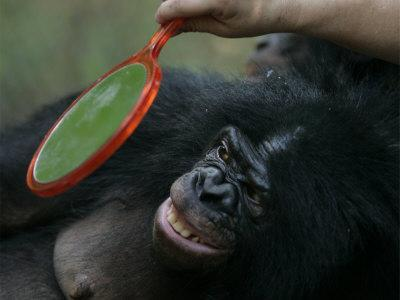 Bonobo Looking in a Mirror at a Language Research Center