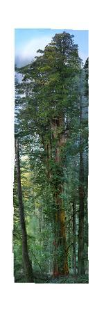 300 Foot Redwood Tree, 84 High Definition Photos Stitched Together for Save the Redwoods League