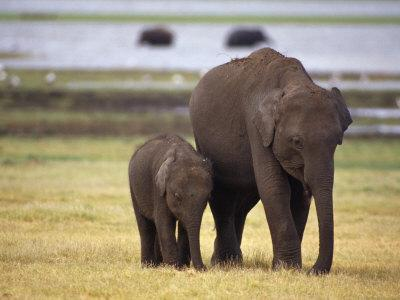 Tiny Asian Elephant Calf and it's Mother Graze on Dry Grasses