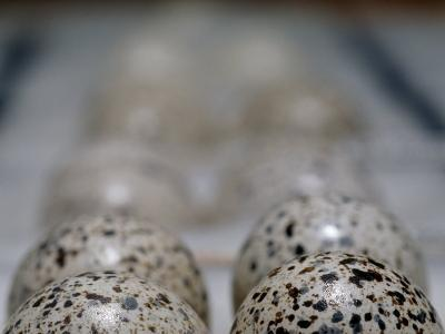 Museum Collection of Endangered Buff-Breasted Button Quail Eggs