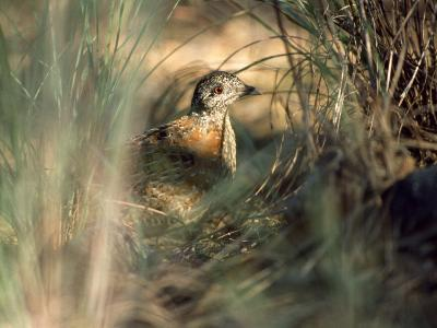 Painted Button-Quail, Turnix Varia Camouflaged in the Grass