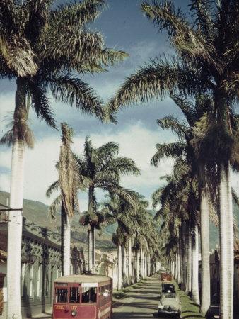 Royal Palms Flank Bolivia Street in Medellin