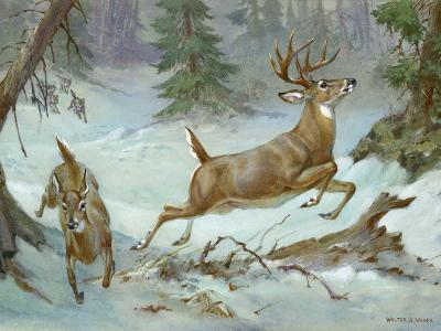 White Tail Buck and Doe Flee from Pursuing Wolves