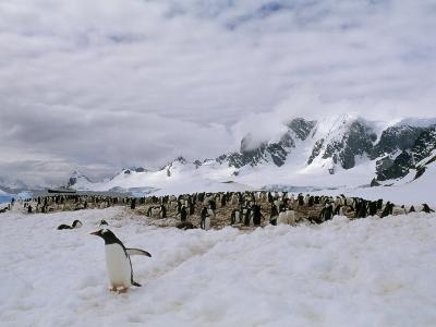 Gentoo Penguins Nest in a Rookery on Cuverville Island
