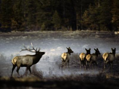 Bull Elk Leads Herds His Cows Thru a Meadow Still Smoking after Being