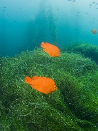Group of Garibaldi Fish Swimming over Sea Grass Beds
