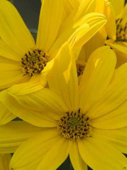 Close Up Of A Bunch Of Bright Yellow Flowers Photographic Print By
