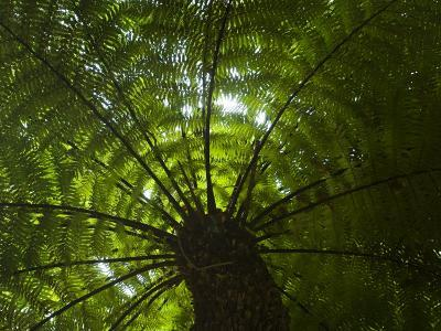 Looking Up into the Canopy of a Palm Tree