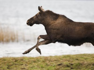 Moose Running by the Water