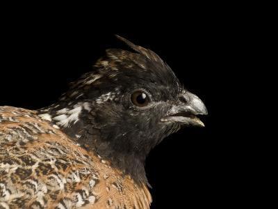 Endangered Masked Bobwhite Quail