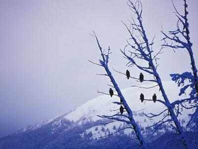 American Bald Eagles Perched in Trees During Winter Snowfall
