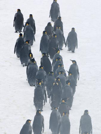 King Penguins in a Snowy Landscape