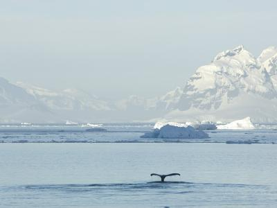 Humpback Whale Flukes Off the Shore of the Antarctic Peninsula