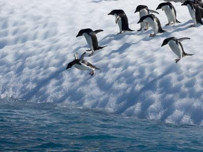 Adelie Penguins Lined Up to Jump from an Iceberg into Chilly Waters