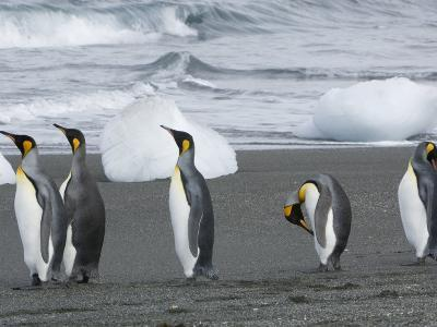 King Penguins on a Beach with Chunks of Ice and Rolling Waves