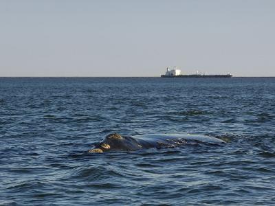 North Atlantic Right Whale Juvenile Near Mayport Naval Base