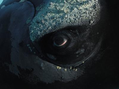 Right Whale's Eye Covered with Tiny Crustaceans Called Whale Lice