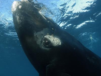 Southern Right Whale in Waters Off the Auckland Islands